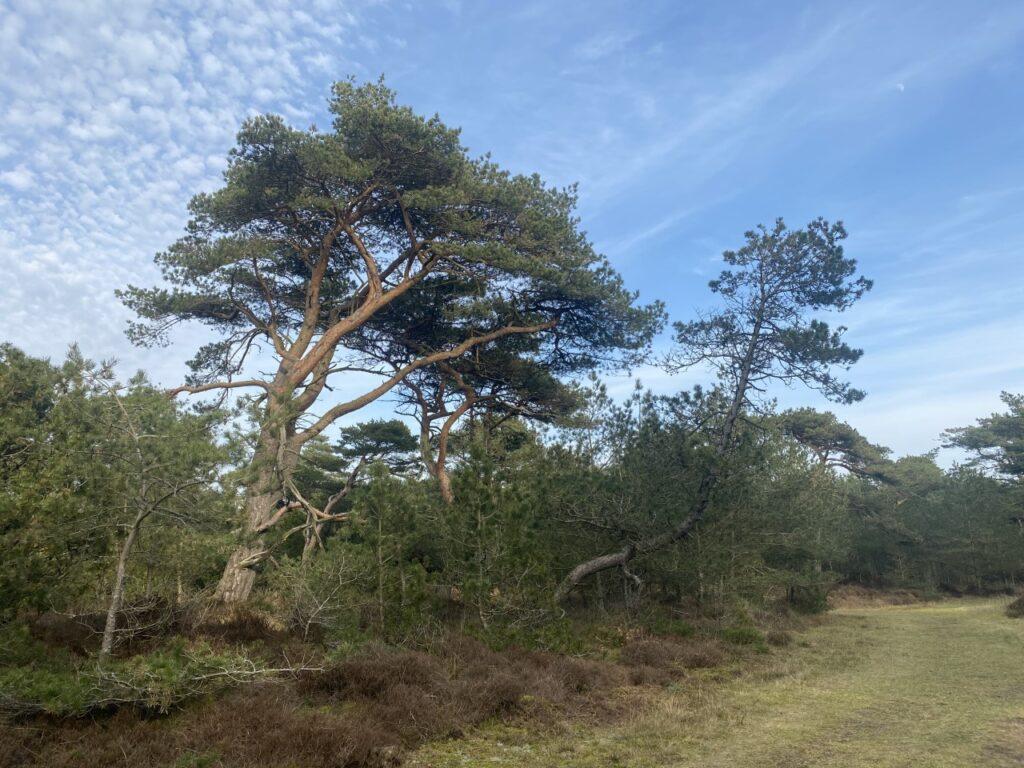 kontakt mig for at finde ud af hvor man kan finde den træ på Rømø